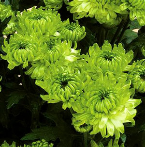 Yoder Pot Mum Limerick Lime - Rooted Cutting Liner