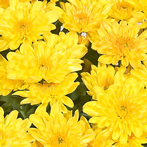 Yoder Pot Mum New York Dazzling  Yellos - Rooted Cutting Liner