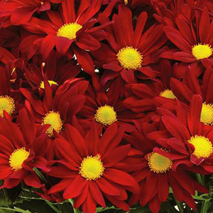 Yoder Pot Mum Outrageous Red - Rooted Cutting Liner