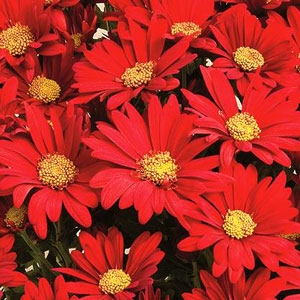 Yoder Pot Mum Red Springs - Rooted Cutting Liner