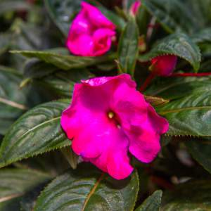 New Guinea Impatiens BP Amelia Large Hot Pink  - Rooted Cutting Liner