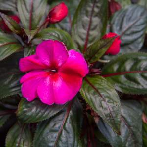 New Guinea Impatiens BP Andria Purple  - Rooted Cutting Liner