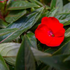 New Guinea Impatiens BP Dallas  Neon Red  - Rooted Cutting Liner