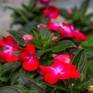 Image Of New Guinea Impatiens BP Emily  Neon Red