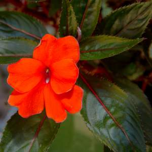 New Guinea Impatiens BP Eve  Bright Orange  - Rooted Cutting Liner