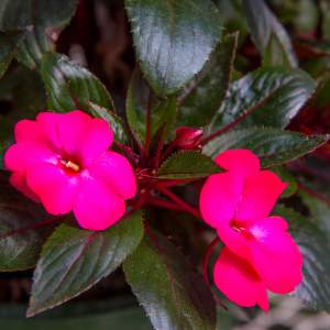 Image Of New Guinea Impatiens BP Gabriella  Hot Pink