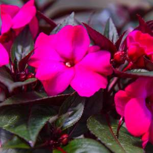 Image Of New Guinea Impatiens BP Karen  Hot Purple