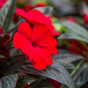 Image Of New Guinea Impatiens BP Loretta  Dark Red