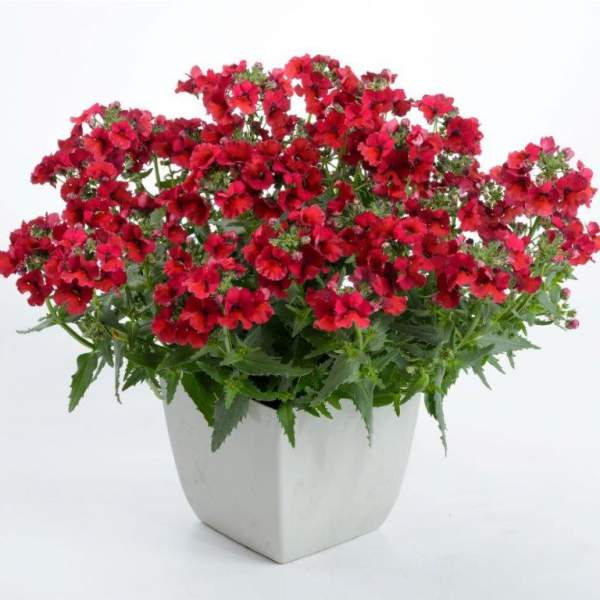 Nemesia Nesia Burgundy - Rooted Cutting Liner