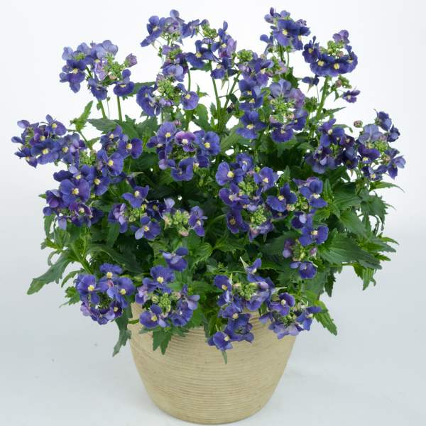Nemesia Nesia Dark Blue - Rooted Cutting Liner