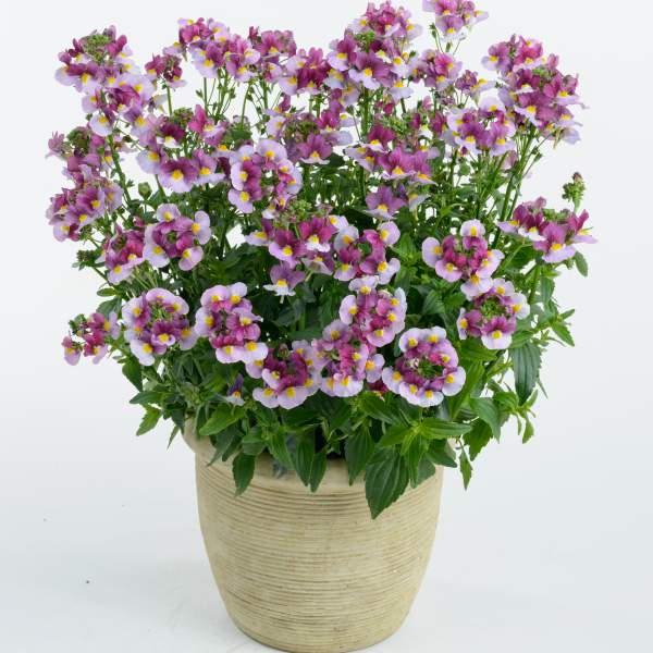 Nemesia Nesia Fantasy Pink - Rooted Cutting Liner