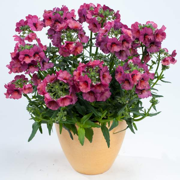 Nemesia Nesia Magenta - Rooted Cutting Liner
