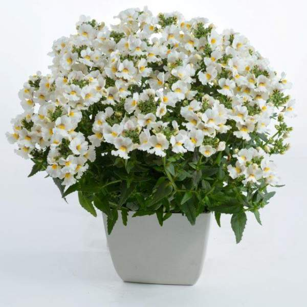 Nemesia Nesia Snow Angel - Rooted Cutting Liner