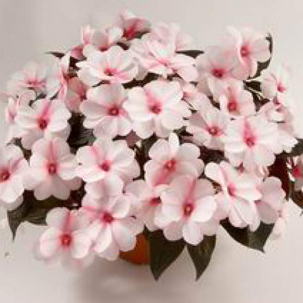 New Guinea Impatiens Harmony Candy Cream - Rooted Cutting Liner