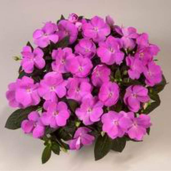 Image Of New Guinea Impatiens Harmony Dark Lavender