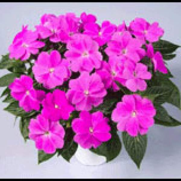 Image Of New Guinea Impatiens Harmony Dark Lilac