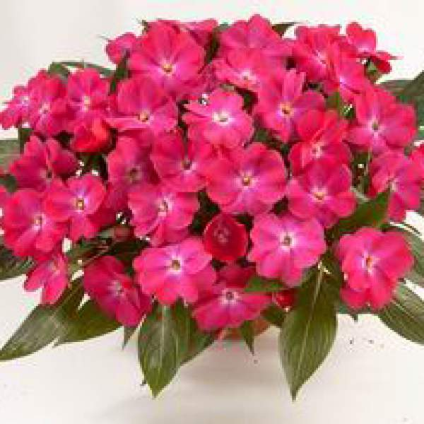Image Of New Guinea Impatiens Harmony Dark Pink