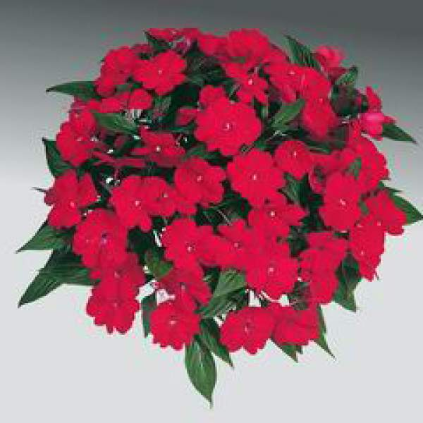 New Guinea Impatiens Harmony Dark Red