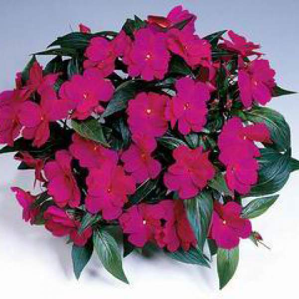 Image Of New Guinea Impatiens Harmony Dark Violet