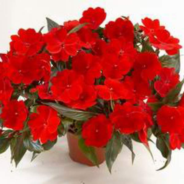 Image Of New Guinea Impatiens Harmony Deep Red