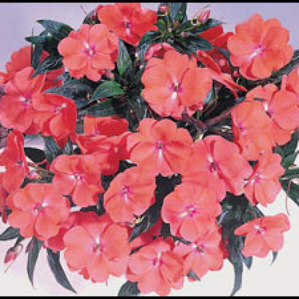 New Guinea Impatiens Harmony Deep Salmon - Rooted Cutting Liner