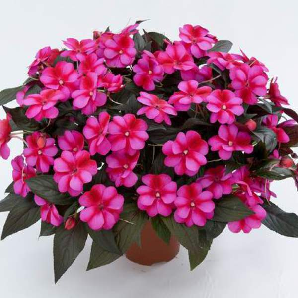 Image Of New Guinea Impatiens Harmony Fuchsia Cream