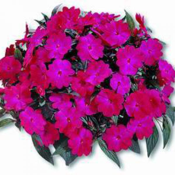 New Guinea Impatiens Harmony Magenta  Purple