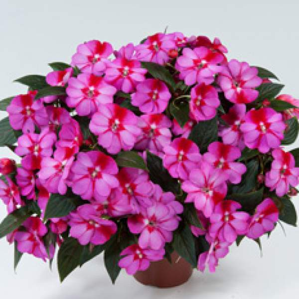 Image Of New Guinea Impatiens Harmony Marshmallow Cream