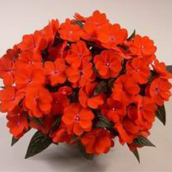 New Guinea Impatiens Harmony Orange Blaze - Rooted Cutting Liner