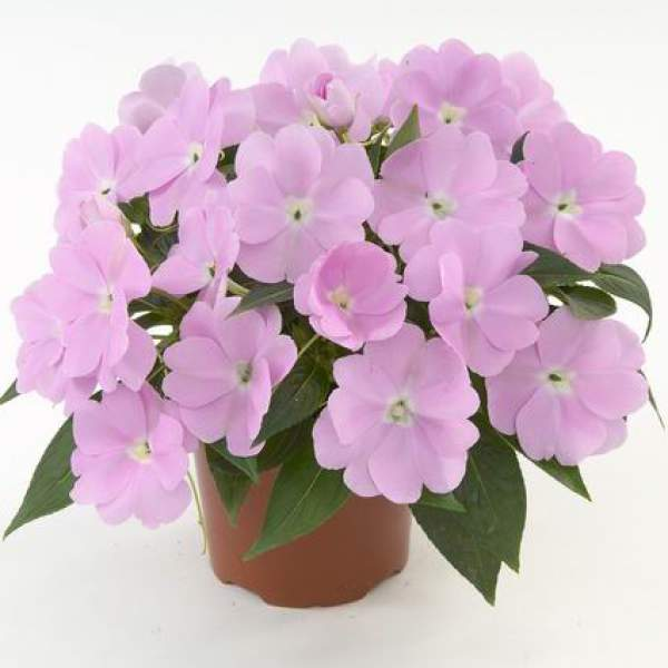 New Guinea Impatiens Harmony Pastel Lavender - Rooted Cutting Liner