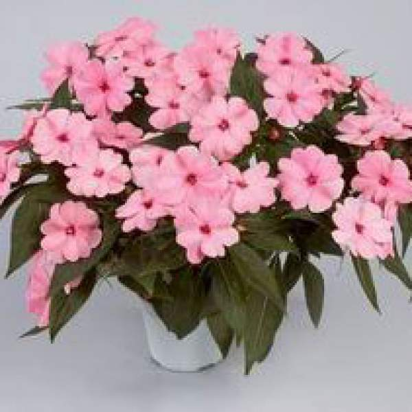 New Guinea Impatiens Harmony Pink Smile - Rooted Cutting Liner