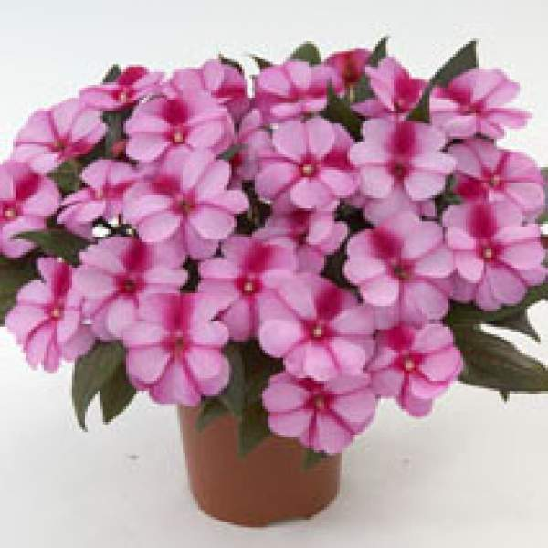 New Guinea Impatiens Harmony Purple Cream - Rooted Cutting Liner