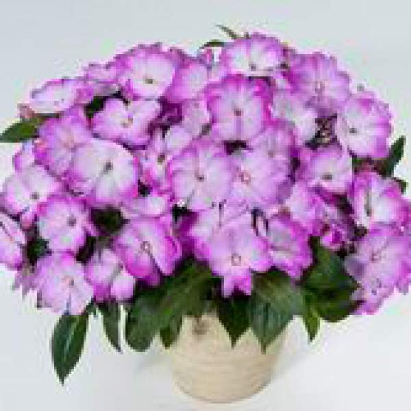 New Guinea Impatiens Harmony Radiance Lilac - Rooted Cutting Liner
