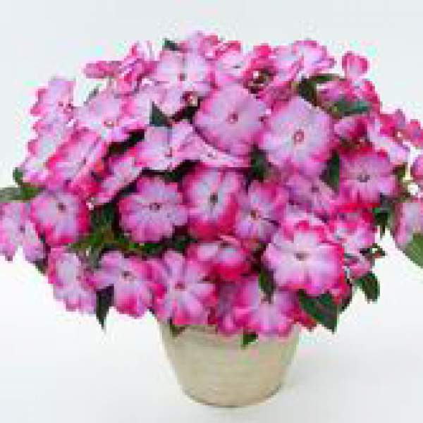 Image Of New Guinea Impatiens Harmony Radiance Pink