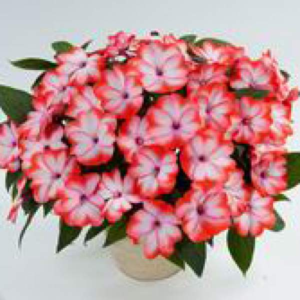 New Guinea Impatiens Harmony Radiance Scarlet - Rooted Cutting Liner