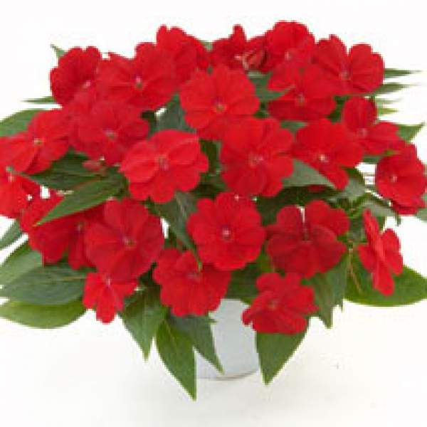 New Guinea Impatiens Harmony Red Cardinal - Rooted Cutting Liner