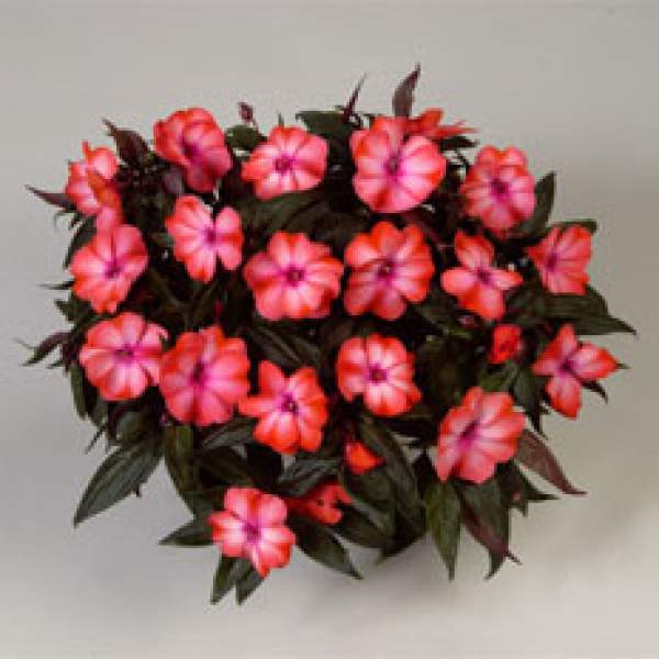 New Guinea Impatiens Harmony Salmon Cream