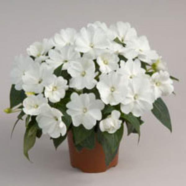 Image Of New Guinea Impatiens Harmony Snow