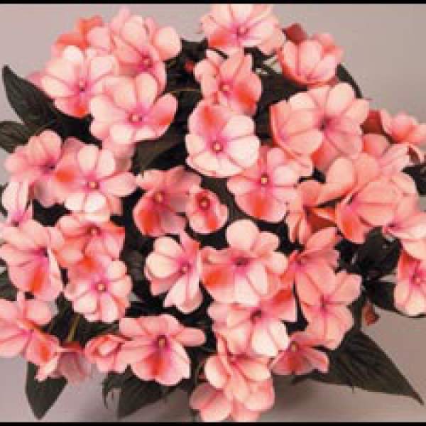New Guinea Impatiens Harmony Spicy Peach