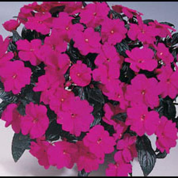 New Guinea Impatiens Harmony Violet - Rooted Cutting Liner