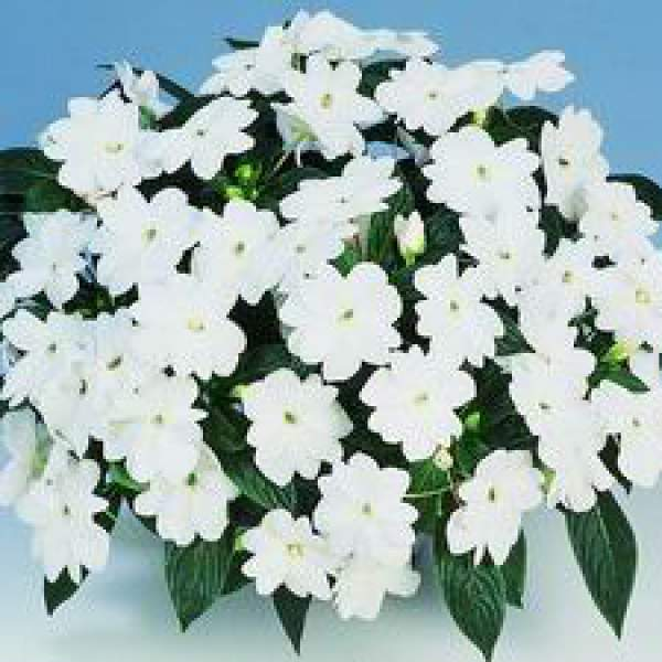 New Guinea Impatiens Harmony White - Rooted Cutting Liner