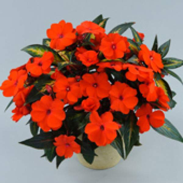 New Guinea Impatiens Strike Orange