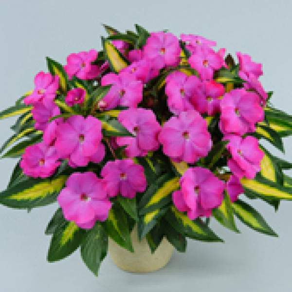 New Guinea Impatiens Strike Orchid - Rooted Cutting Liner