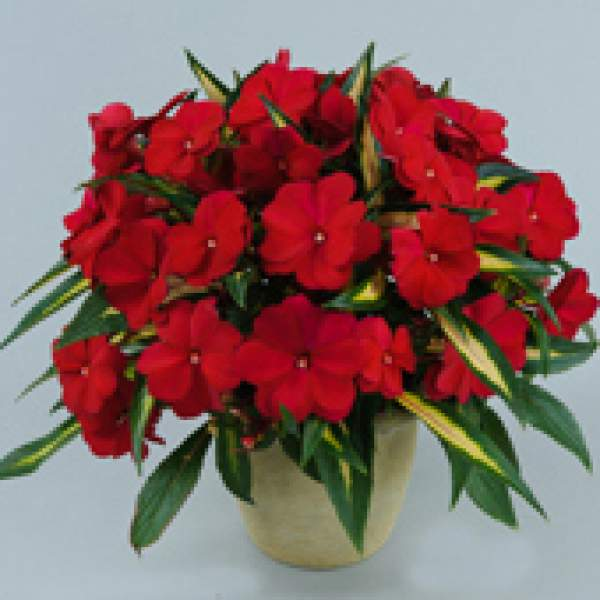 Image Of New Guinea Impatiens Strike Plum