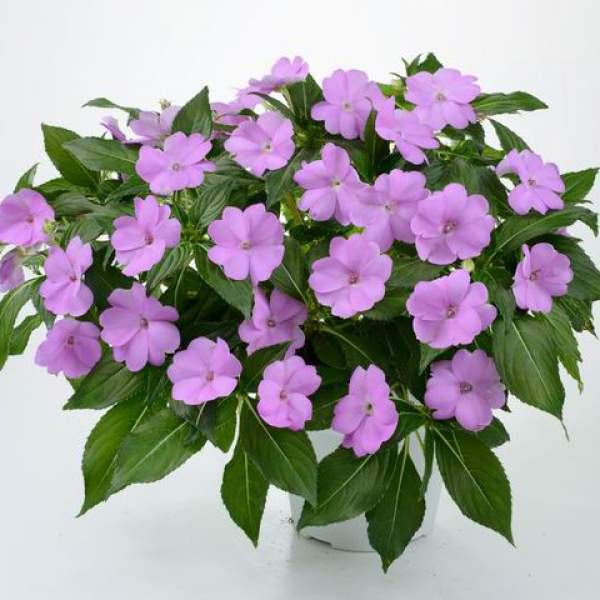 New Guinea Impatiens Sun Harmony Compact Lavender - Rooted Cutting Liner