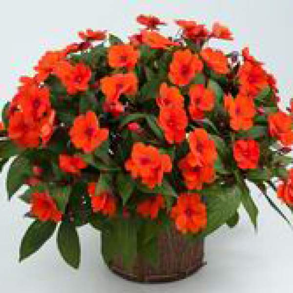 New Guinea Impatiens Sun Harmony Deep Orange - Rooted Cutting Liner