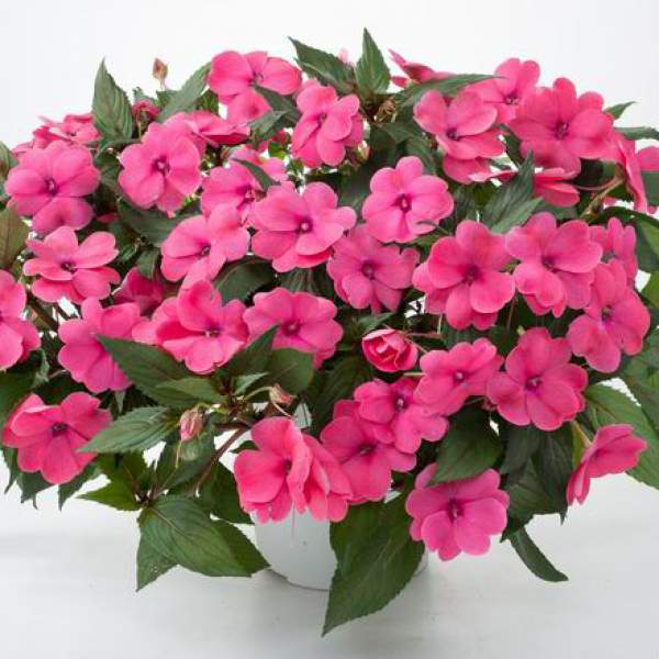 New Guinea Impatiens Sun Harmony Deep Pink - Rooted Cutting Liner