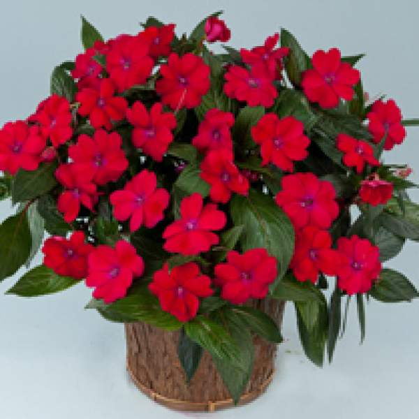 New Guinea Impatiens Sun Harmony Magenta - Rooted Cutting Liner