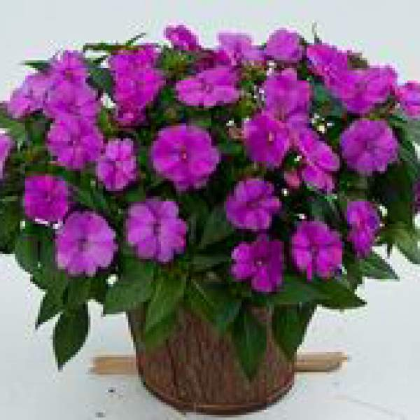 Image Of New Guinea Impatiens Sun Harmony Pink