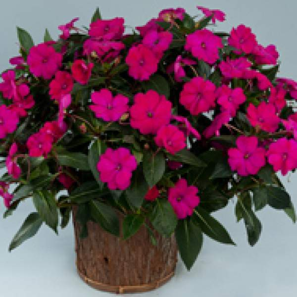 Image Of New Guinea Impatiens Sun Harmony Purple